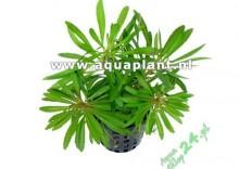 Syngonium white - green